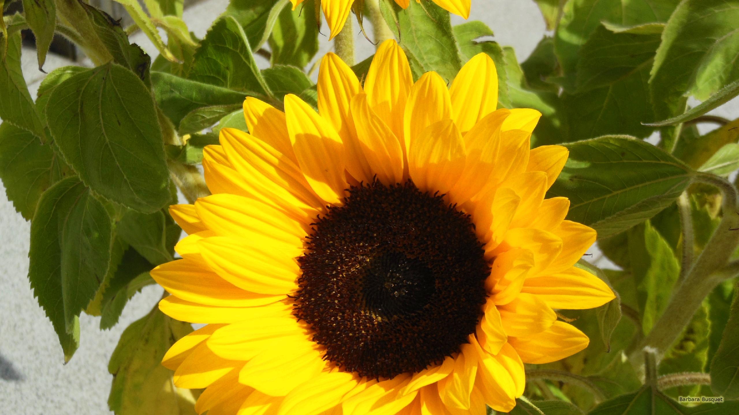 Sunflowers Barbara S HD Wallpapers