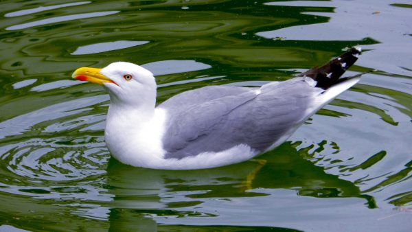 Seagull in the water.