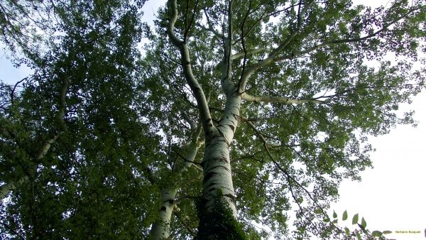 HD wallpaper birch tree viewed from ground