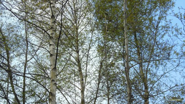 Birch trees in spring.