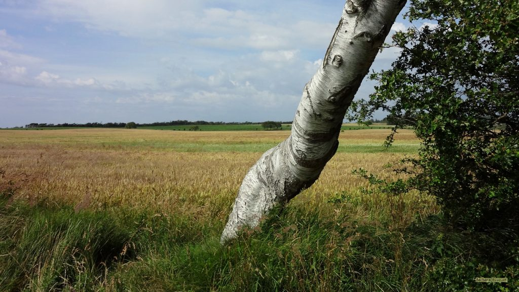 HD wallpaper landscape with birch tree and fields.