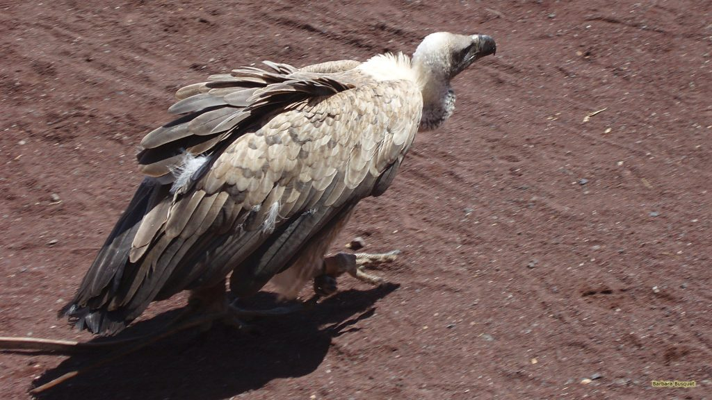 vulture walking through the sand.