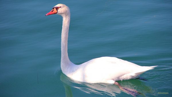 HD wallpaper White swan in the blue water.