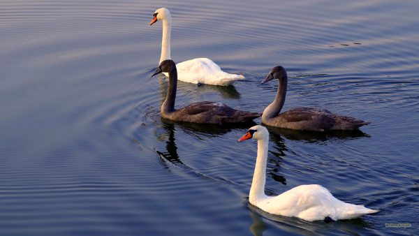 HD wallpaper black and white swans.