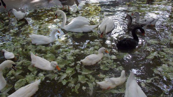 HD wallpaper ducks and swans