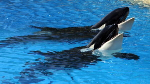 Two killerwhales in a pool