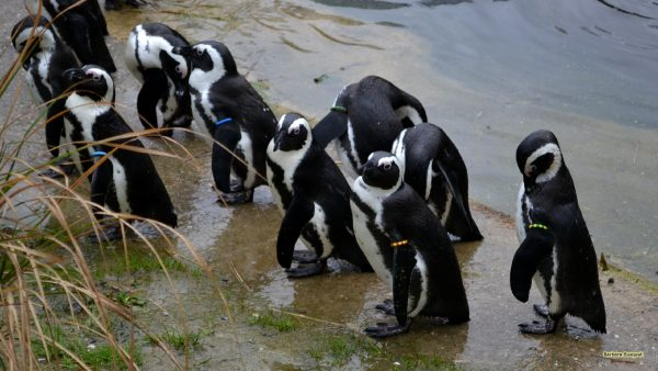 African penguins near water
