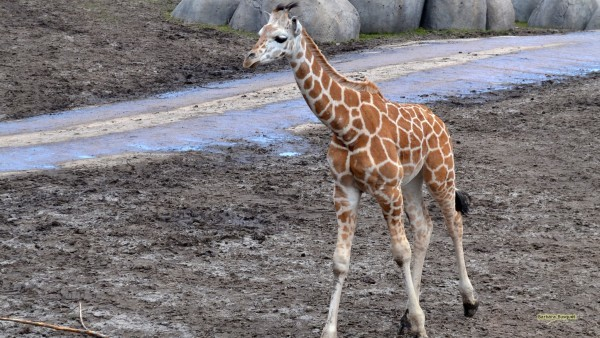 Baby giraffe in zoo