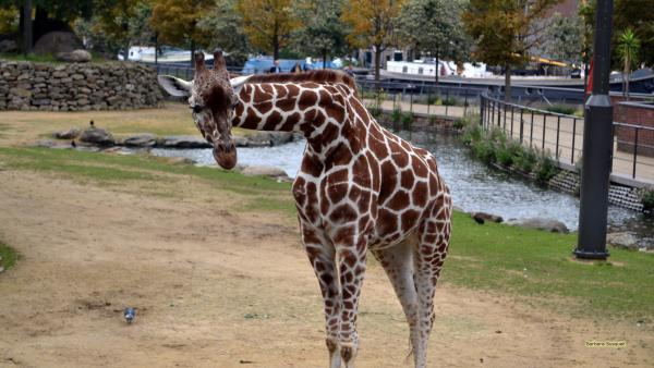HD photo Giraffe in zoo