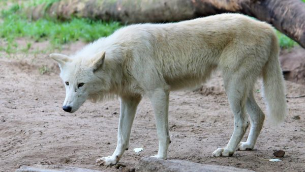 HD wallpaper white wolf