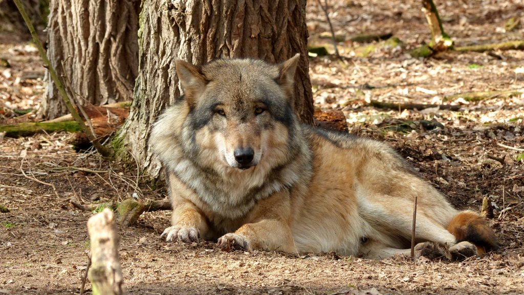 HD wallpaper wolf under tree.