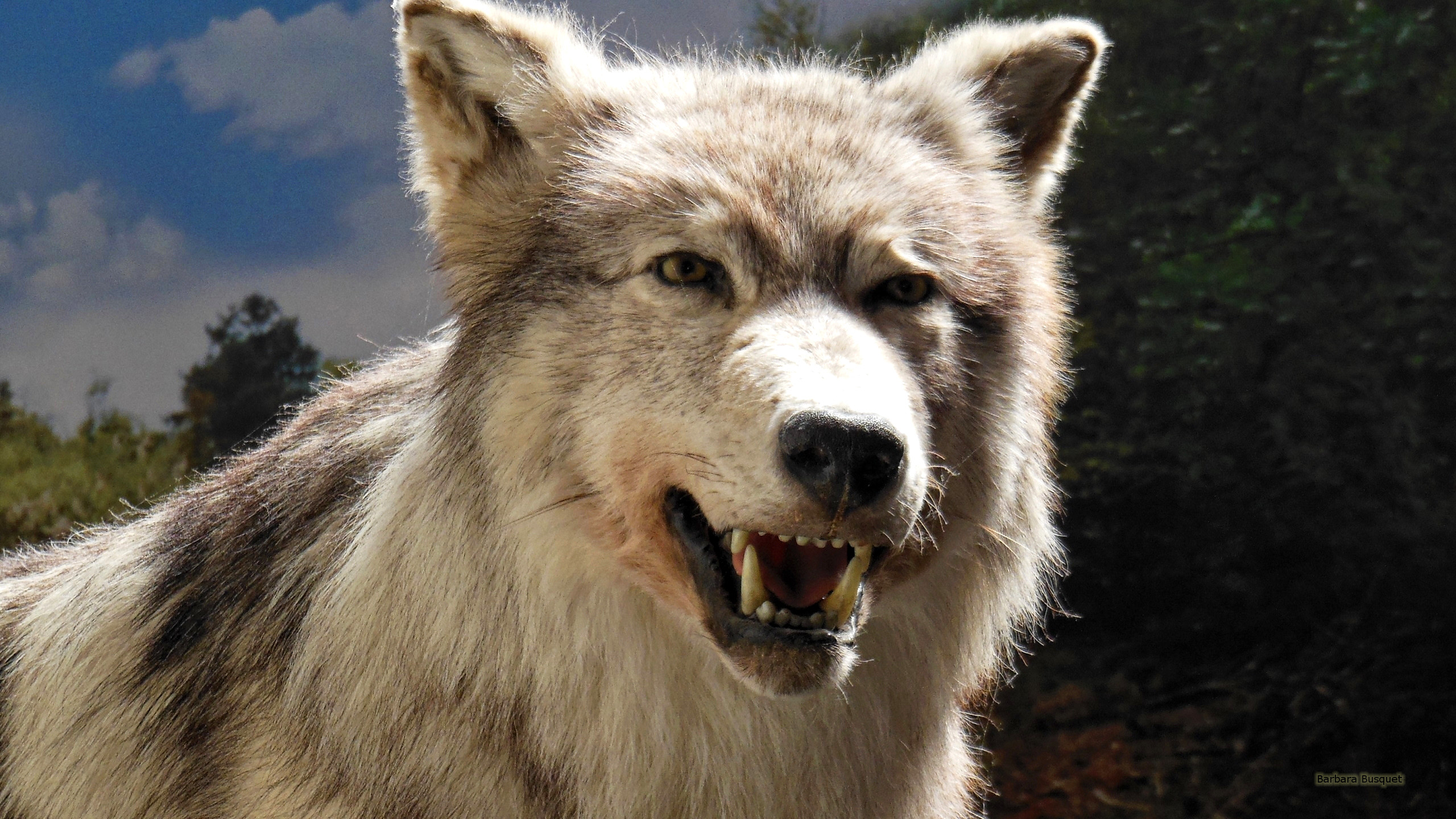 Wolf Wallpapers Barbaras Hd Wallpapers