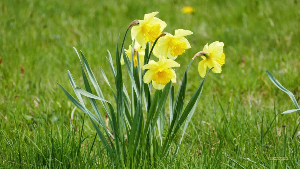 Spring wallpaper with daffodils