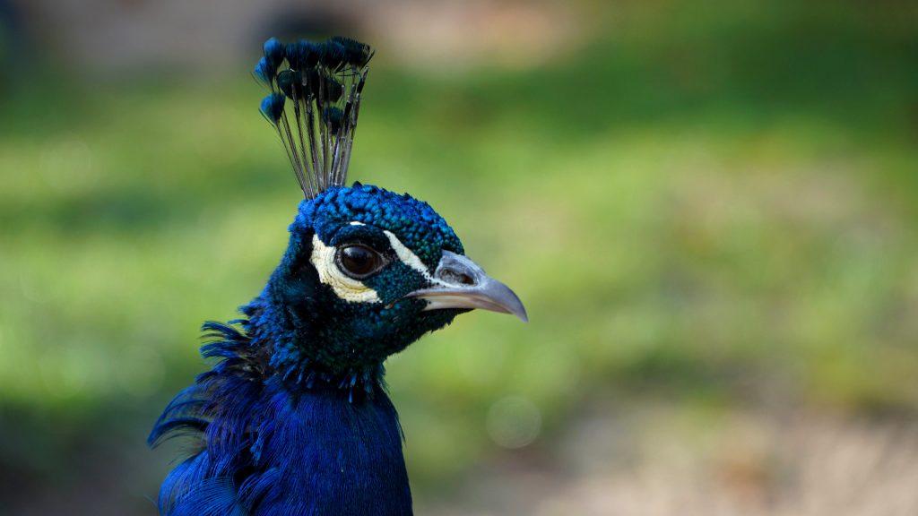 HD wallpaper head of peacock