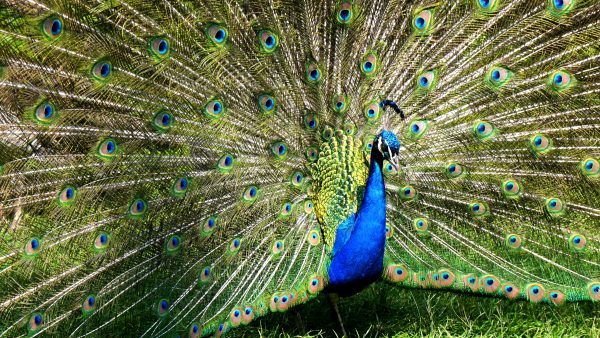 Blue green colored peacock