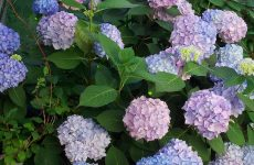 Hortensia flowers in the yard