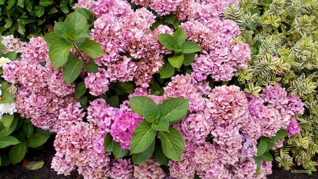 Nature wallpaper pink hortensia in yard