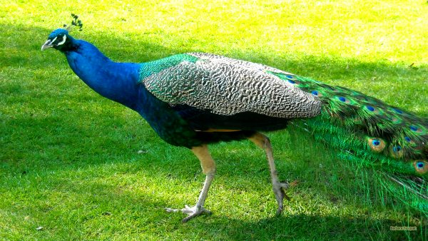 Peacock with green and blue feathers.