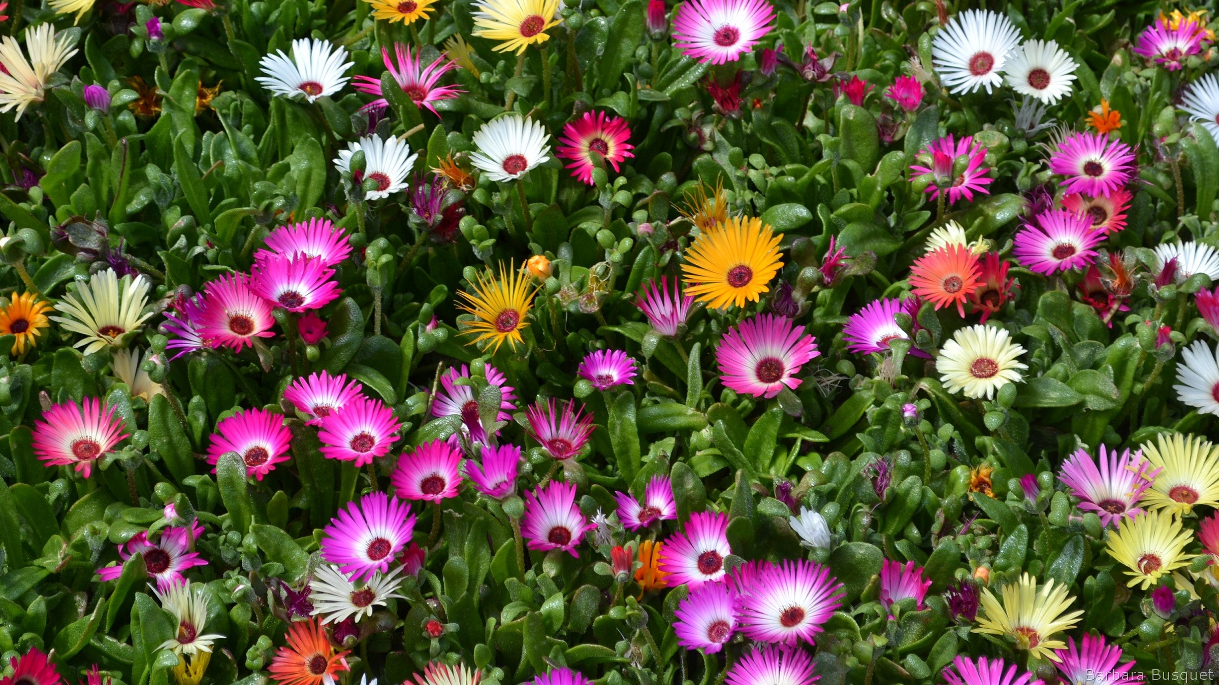 Lampranthus flowers mix - Barbaras HD Wallpapers