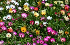 Lampranthus flowers mix