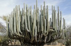 Huge cactus in the desert