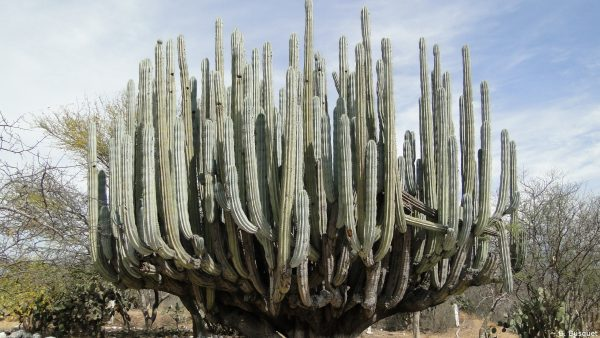 Wallpaper huge cactus in desert