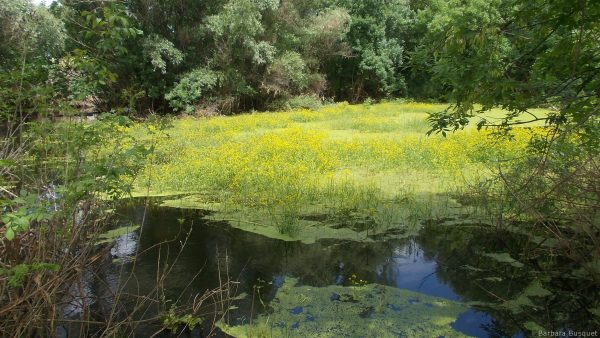 Nature in Serbia with swamp and flowers