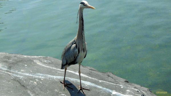 Wallpaper with a grey heron