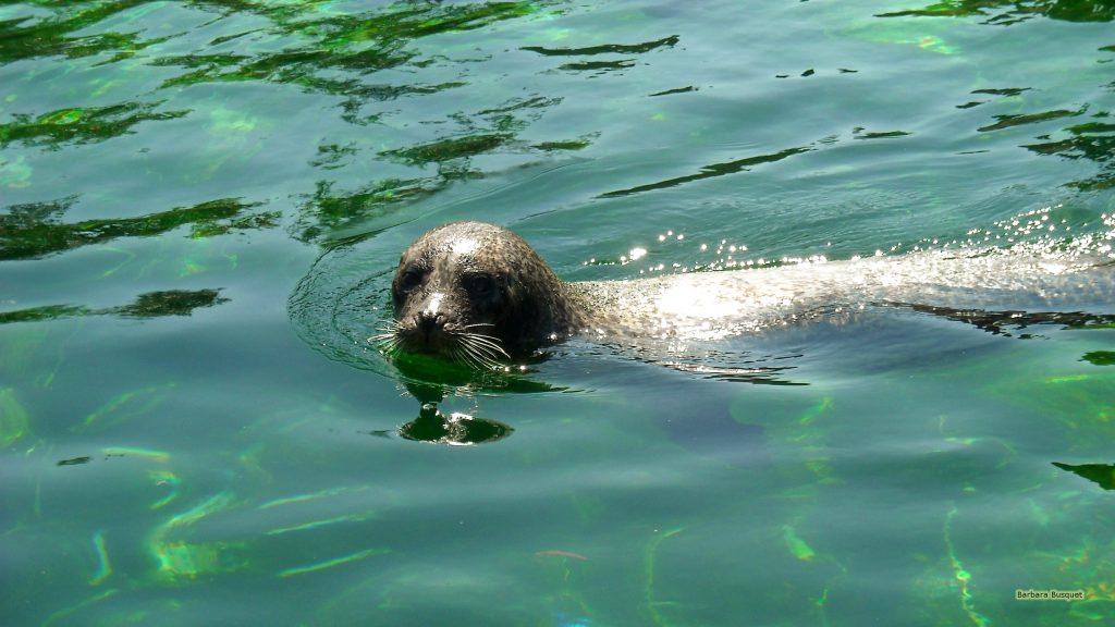 HD wallpaper seal swimming in green water