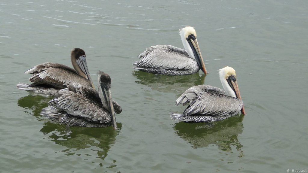 HD wallpaper with four brown pelicans in Mexico