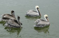 Pelicans in Mexico