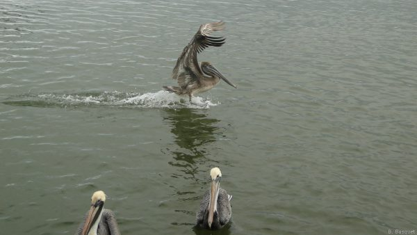 Wallpaper brown pelicans in the water