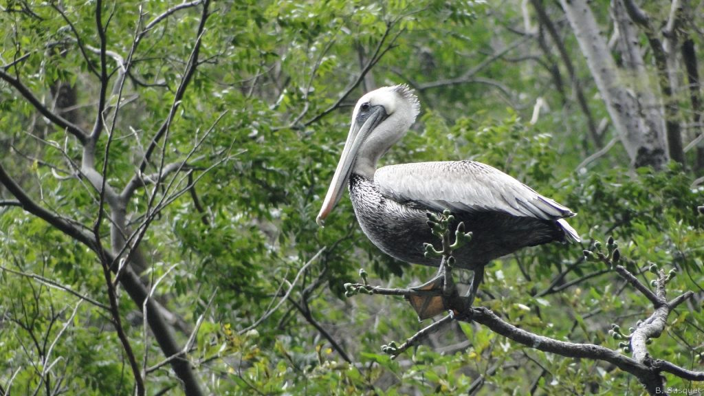 hd wallpaper pelican in a tree