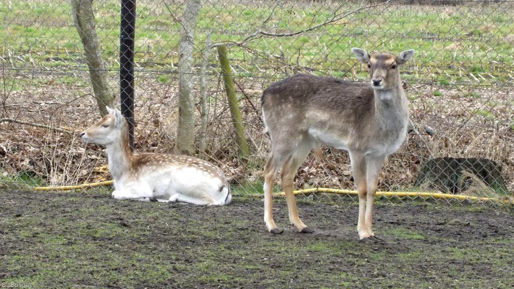 Animals wallpaper with deer