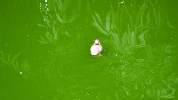 HD wallpaper duckling in green water