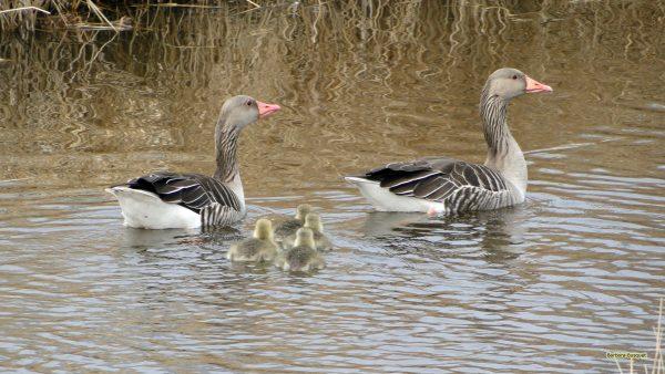HD wallpaper geese and goslings
