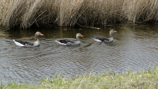 HD wallpaper geese swimming in a line