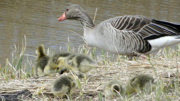 HD wallpaper goose and goslings