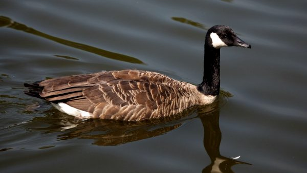 HD wallpaper goose in the water.