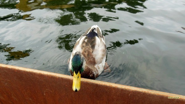 HD wallpaper male duck