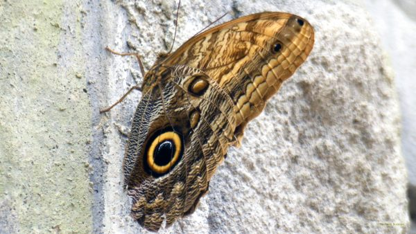 HD wallpaper owl butterfly at wall