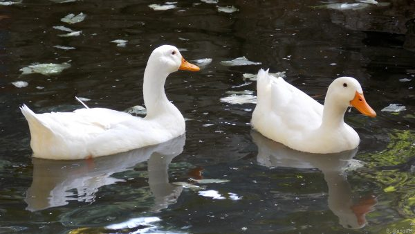 Two white ducks swimming