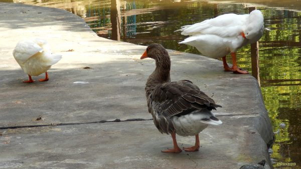 HD wallpaper white and brown geese