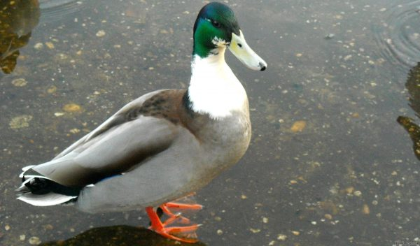 Male duck with green head