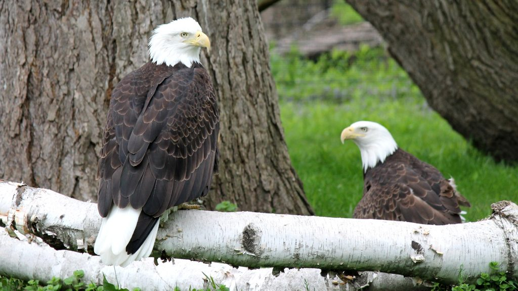 HD wallpaper with eagles