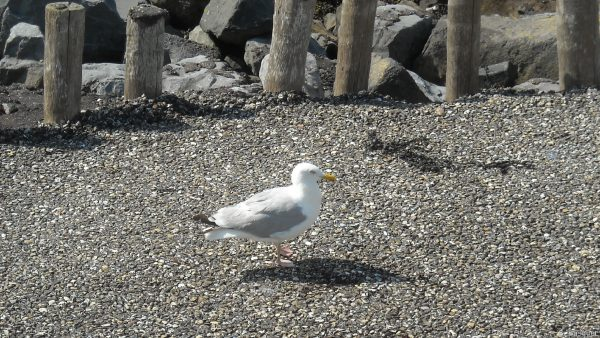 HD wallpaper with seagull