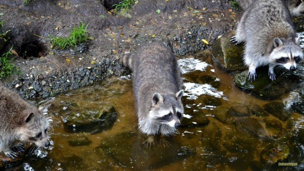 Animal wallpaper three raccoons and water