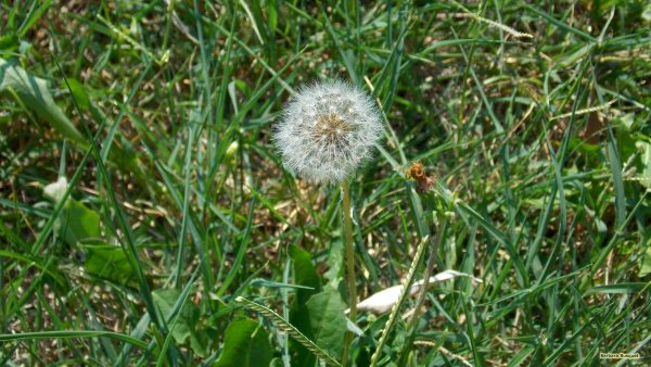 HD wallpaper with dandelion and grass