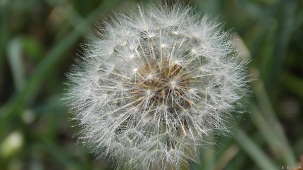 Dandelion seed head close-up photo