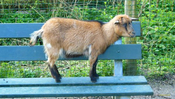 HD wallpaper goat on bench
